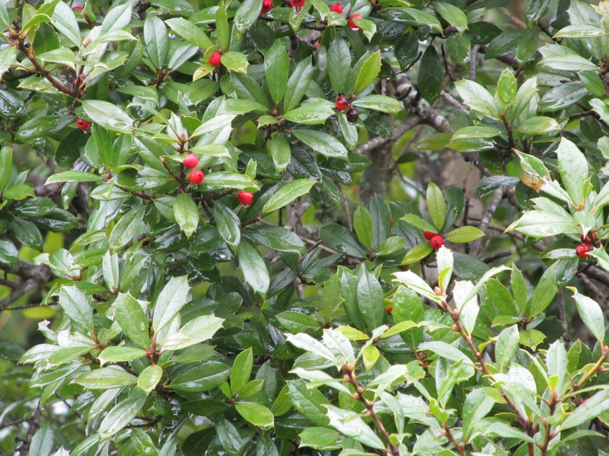 Evergreen holly with berries